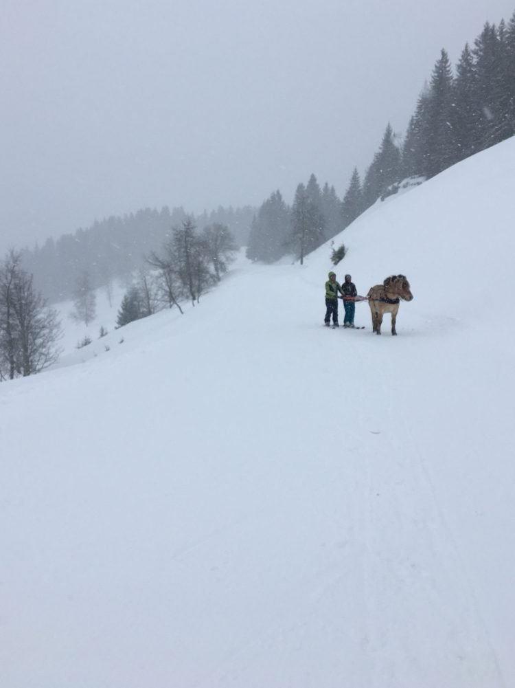 Tony the Fjord horse taking a break during our ski-joëring excursion in the Portes du Soleil.