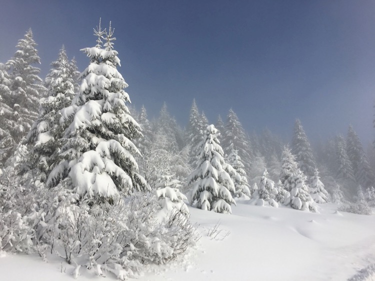 Snow covered trees icing sugar deep Alpine scene in Avoriaz in winter Up-Stix Images